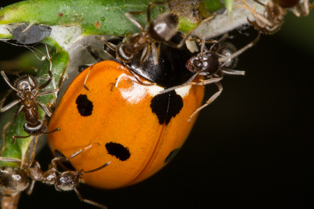 compound eyes: The picture shows ants that attack a ladybug to protect aphids  Stock Photo