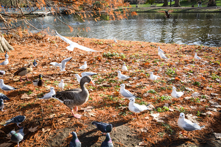 Autumn park scenery. Lonely duck is surrounded by bird armies in St. James park, London, UK Imagens