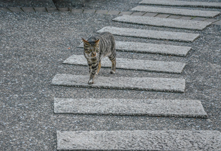A solo stripe cat walking across walking road with evening sunlight. After a long day of work, its time to go back home. Catwalk icon. Catwalk runway with lights on.