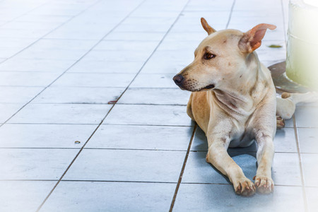 looking for love: A lonely and innocent  Thai stray dog sitting on floor in Temple area looking for someone to adopt and love him, Thailand.