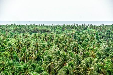 Coconut farm forest with the horizontal and sealine in Samui island, Thailand Фото со стока