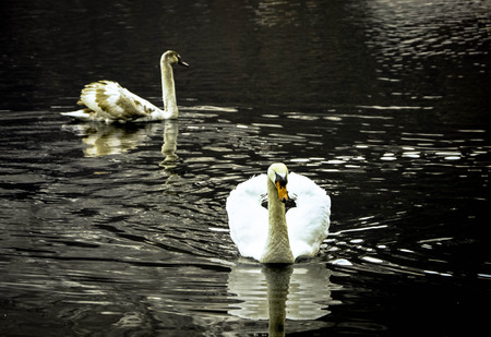 Two elegant white Swans swimming on river background. Sepia vintage wildlife swans background Фото со стока