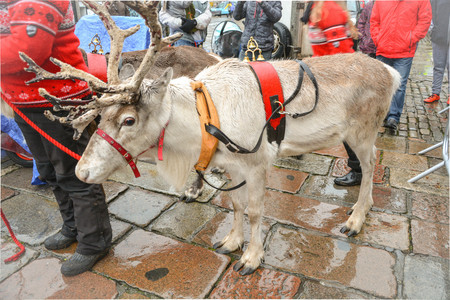 A reindeer is waiting to walk on Christmas parade with Santa at town square, Aberdeen, Scotland, United Kingdom. Christmas parade celebrating icon Stock Photo