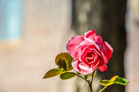 The pink rose flower bloom isolated during the winter with blurred background Фото со стока