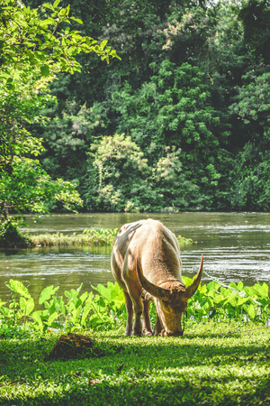 Thai elegant white buffalo eating grass isolated among peaceful nature of Kanchanaburi province, Thailand. Thai water buffalo represents agriculture in Thailand and Southeast Asia