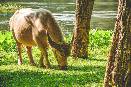 Thai elegant white buffalo eating grass isolated among peaceful nature of Kanchanaburi province, Thailand. Thai water buffalo represents agriculture in Thailand and Southeast Asia.