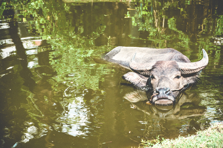 Thai water buffalo isolated soaking in a mud pond for avoiding hot summer in Thailand.