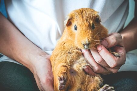 Golden brown American Short-hair Guinea Pig is pet by human. Stok Fotoğraf