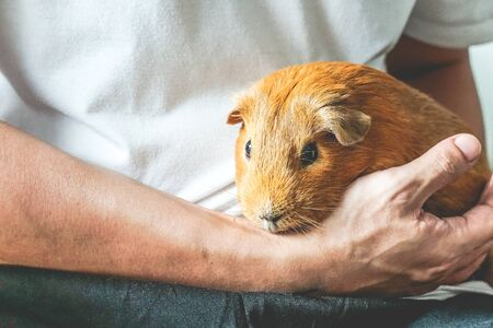 Golden brown American Short-hair Guinea Pig is pet by human.
