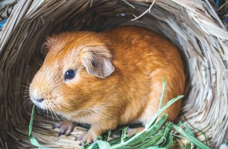 Golden brown American Short-hair Guinea Pig is sitting in the bird nest house background