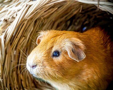 Golden brown American Short-hair Guinea Pig is sitting in the bird nest house background Banco de Imagens