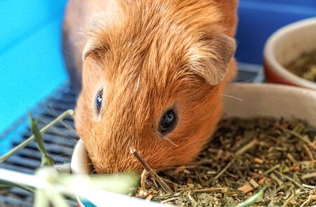 Golden brown American Short-hair Guinea Pig is eating food in bowls background Banque d'images - 130024390