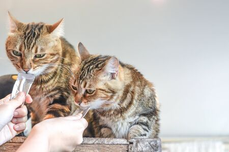 Two cute brown striped furry cats enjoy liquid cat snack sachets from human hands
