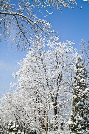 forest after heavy snow in a sunny day photo
