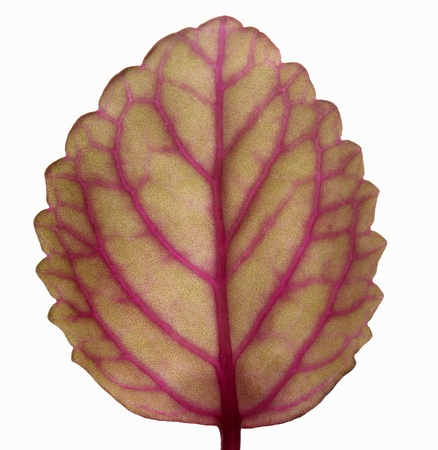 Isolated leaf Stock Photo - 12807207
