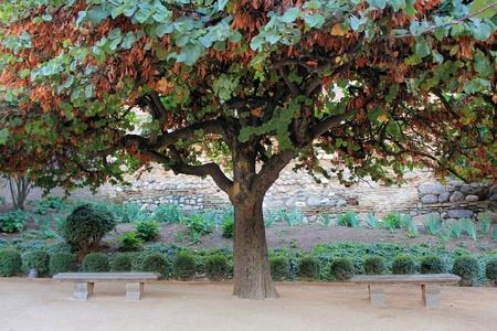 Cercis siliquastrum  tree of love