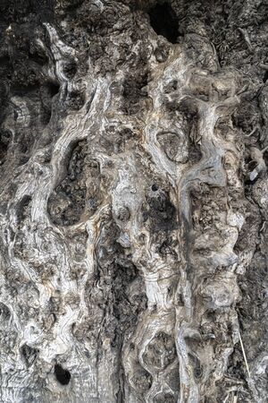 Old and wrinkled tree bark texture