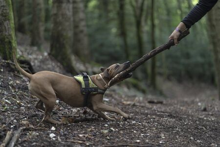 Brown dog biting a stick in the forest