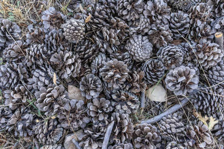 Group of dried pinecones fallen from the tree to the ground
