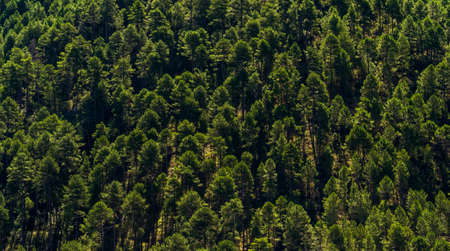 Background of pines in a forest of the