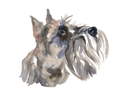 The miniature schnauzer - isolated hand-painted watercolor hunter dog