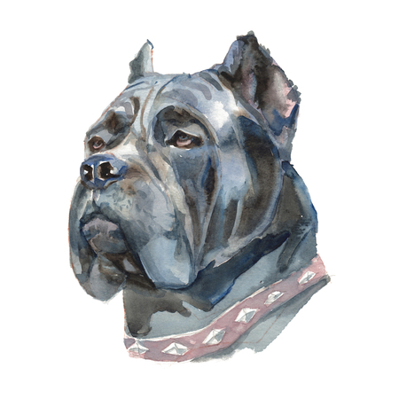 The Cane Corso. Watercolor hand painted illustration, graphic portrait dog. Watercolor isolated on a white background. Hand painted in realistic style.