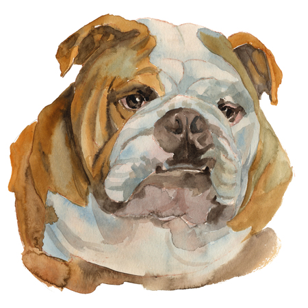English bulldog - hand painted, isolated on white background watercolor dog portrait