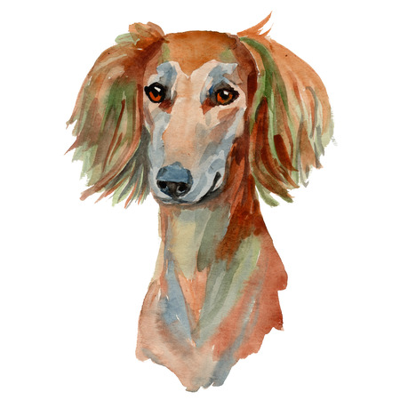 Saluki dog - hand painted, isolated on white background watercolor dog portrait