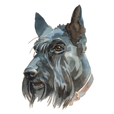 The Scottish Terrier portrait. Hand painted, isolated on white background watercolor dog portrait.