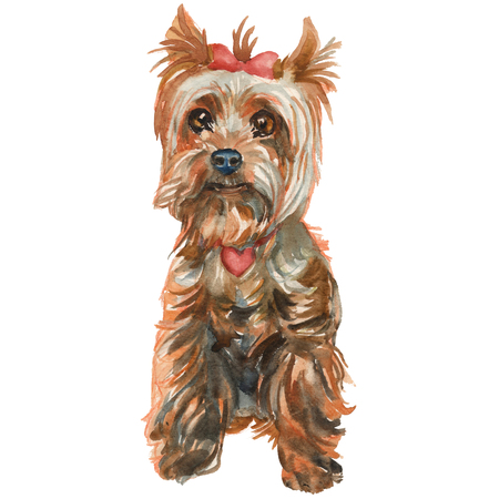 The Yorkshire terrier puppy - girl