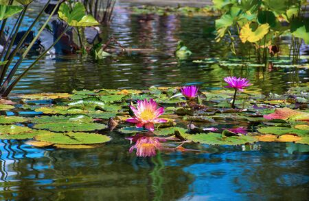 Beautiful pink flowers Water Lilies blooming in Central Park, Manhattan, New York City, USA.