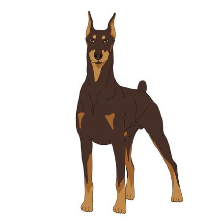 Doberman Hund isoliert realistische Vektor-Illustration Farbe