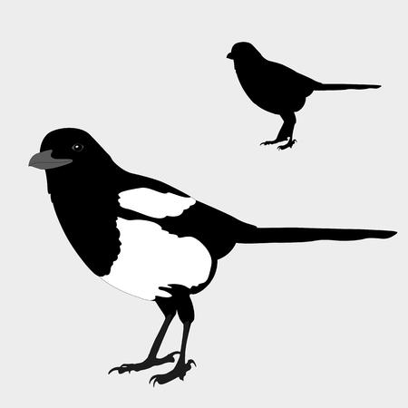 lore: magpie realistic bird silhouette black Illustration