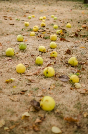Apples on the ground photo
