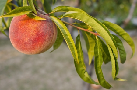 Ripe peach on a peach tree green leaves around Stock Photo