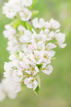 upclose: Beautiful pear Blossom against a green background