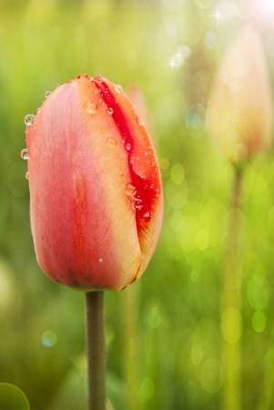 Red tulips Stock Photo - 20408622