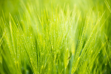 green wheat: Green wheat field