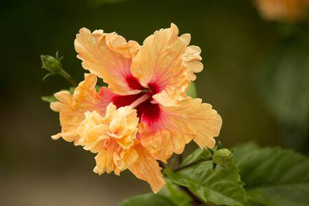 Double layers orange hibiscus shot in bright sunlight