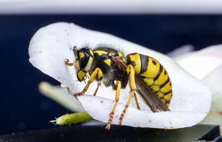 extreme close up detailed macro picture of a wasp sitting on a flower