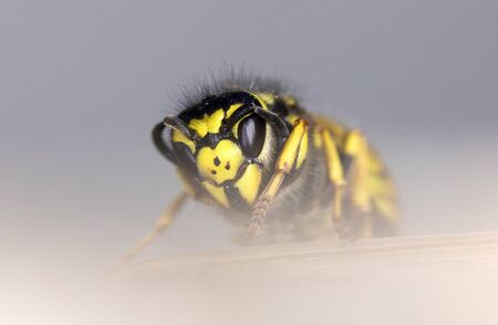 close-up of a wasp against a blurred grey background