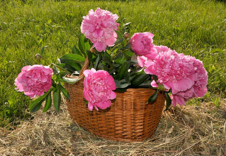 The basket with peonies costs on a grass Stock Photo - 9865517