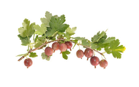 gooseberry bush: Red berries hang on a branch of a gooseberry