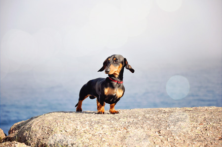 Miniature Dachshund on a rock