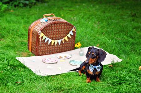 Mini-dachshund relaxing outdoors Stockfoto