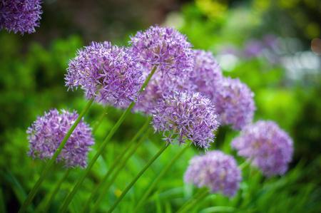 allium flower: Allium flower, Allium Giganteum in the garden
