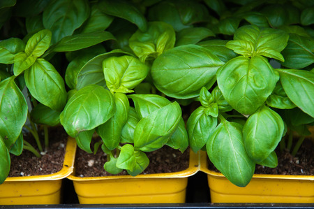 Basil in pots at the market, herb garden. Selective focus