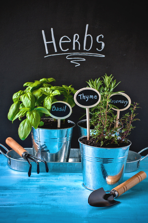 Herb garden, thyme, rosemary, and basil in pots, gardening tools, chalk board and rustic blue background, selective focus, toned image