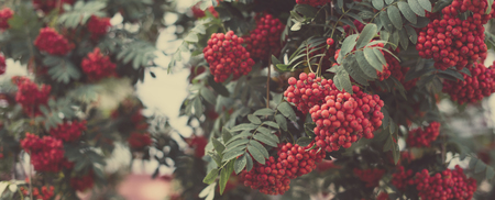 Rowan berries on a bush, autumn or fall background, long format for web design, selective focus, shallow depth of field, toned image Stockfoto