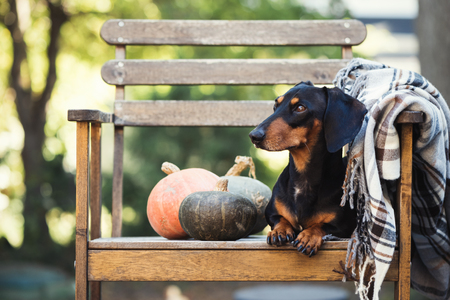 Dachshund, pure bred miniature dog siting on a chair, pumpkins, autumn or fall blanket, selective focus